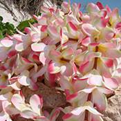 pink-plumeria-garland