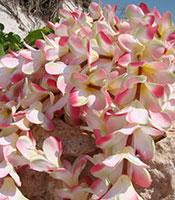 Pink Plumeria Garland